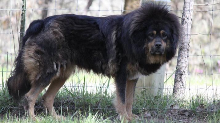 Indignante: Ordenan cortar cuerdas vocales a perros que ladran demasiado