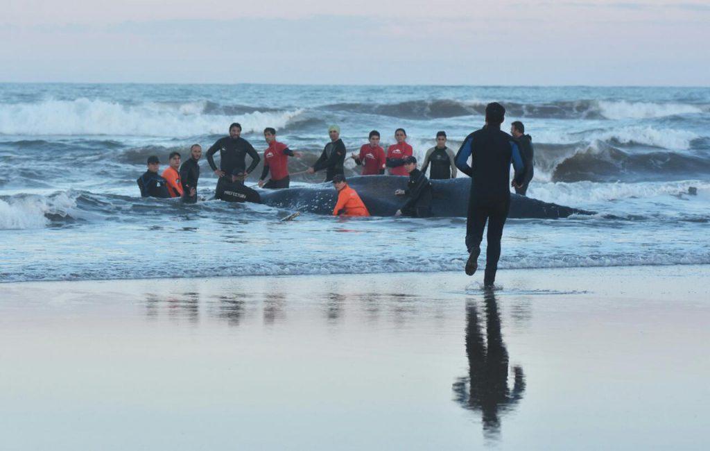 En vivo: Intentan salvar a la ballena encallada en Mar del Plata