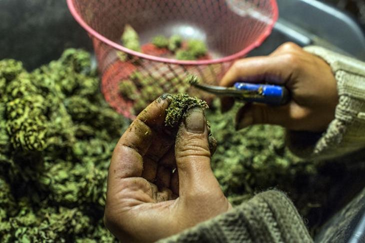 Los trimmers de Marihuana argentinos son cada vez más comunes en California