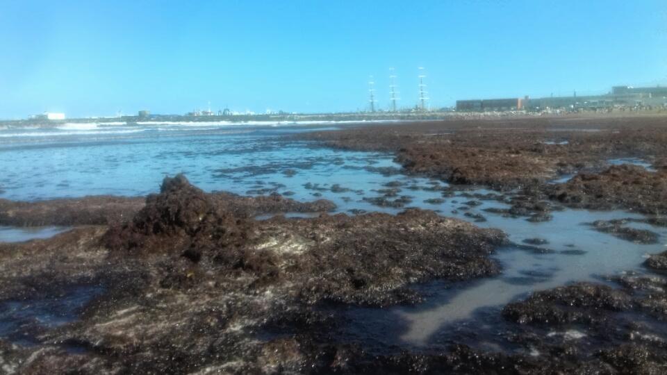El fenómeno de las algas reapareció en Playa Grande
