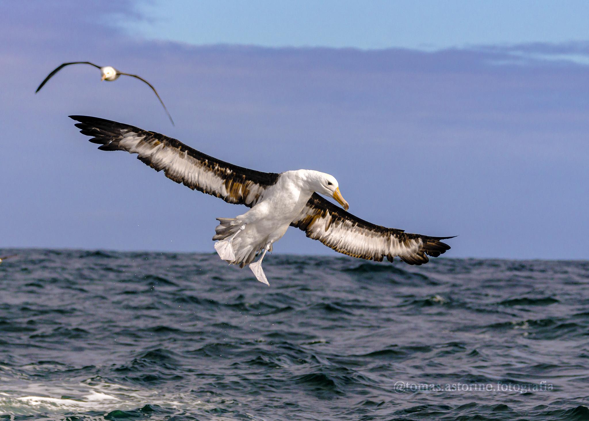 El grupo de aves más amenazadas del planeta, los albatros, celebró su primer Día Mundial
